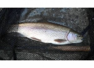 rainbow-trout-cheoah-lake-guided-lake-trip.jpg