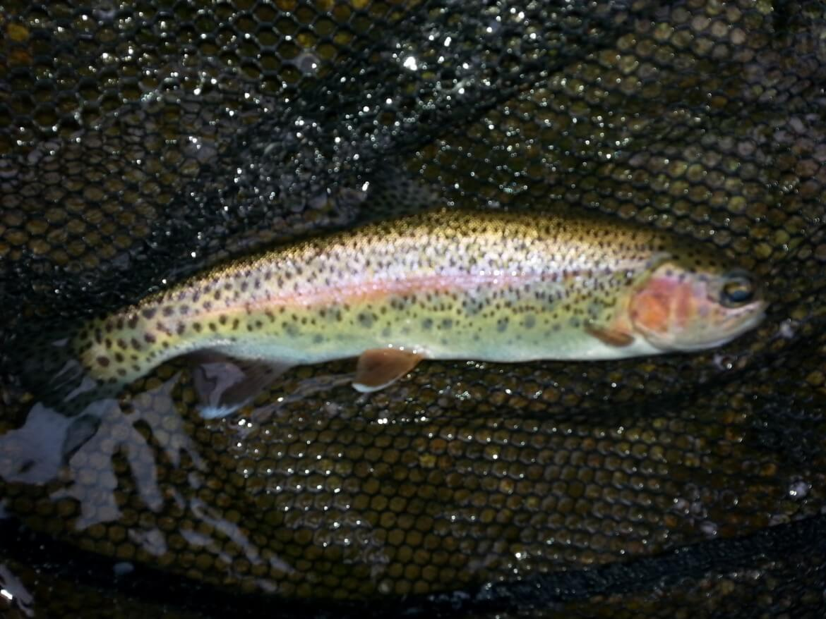 Fly fishing guided wade trip for trout for Best trout fishing in ct