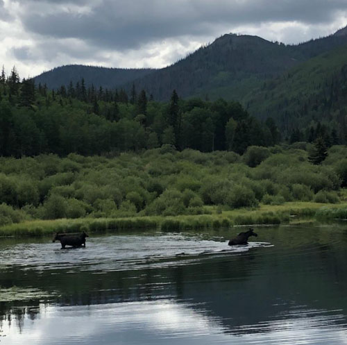 wemenuche-moose.jpg